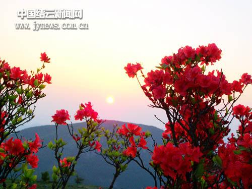 大洋杜娟五月始盛开(图)