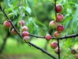 彭山珍珠枣油桃