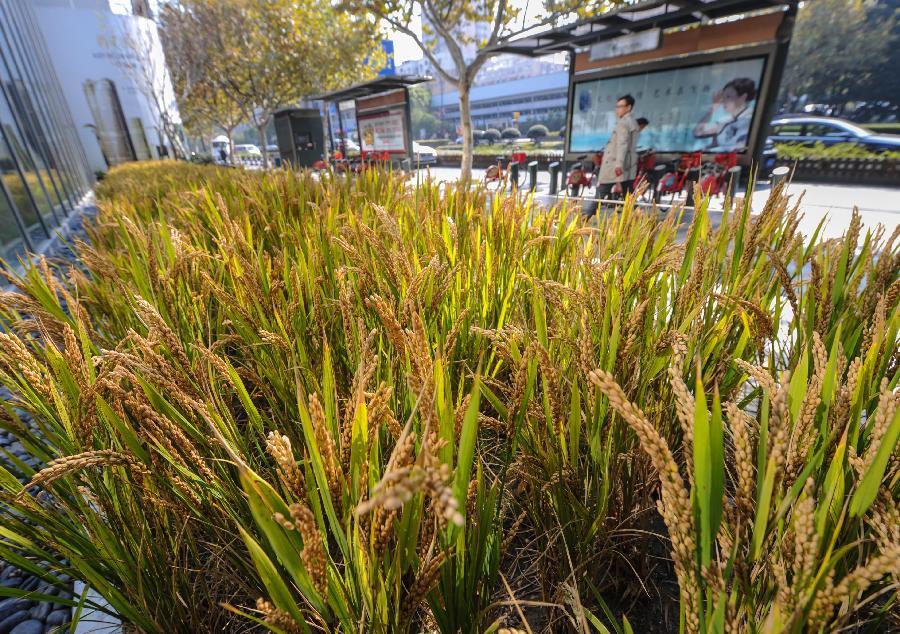 杭州纯天然植物��a_杭州:水稻当花养
