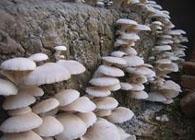常山食用菌