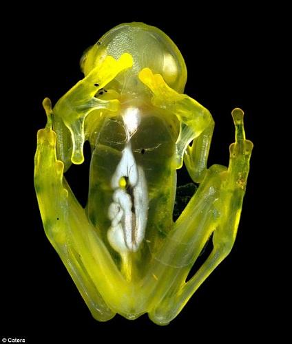 玻璃蛙身体呈透明状,其内脏和骨骼清晰可见