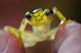"""摄影师拍摄透明""""玻璃蛙"""" 内脏清晰可见"""