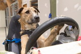亮瞎了 狗狗居然能开车?