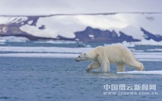 中国 北极熊/http://www.jynews.com.cn 中国缙云新闻网来源:环球网2013/...