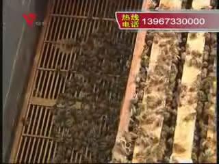 [04月01日] 辛苦养蜂人 迁徙为蜜甜