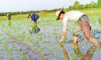 农技人员帮忙 早稻抛秧种植