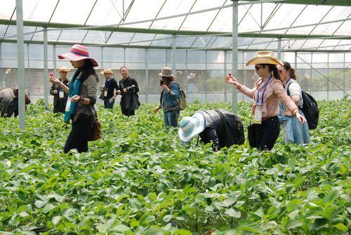 温岭城南:钢架大棚草莓迎客来--温岭新闻网