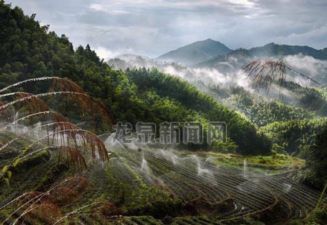 五龙山喷微灌生态茶叶山