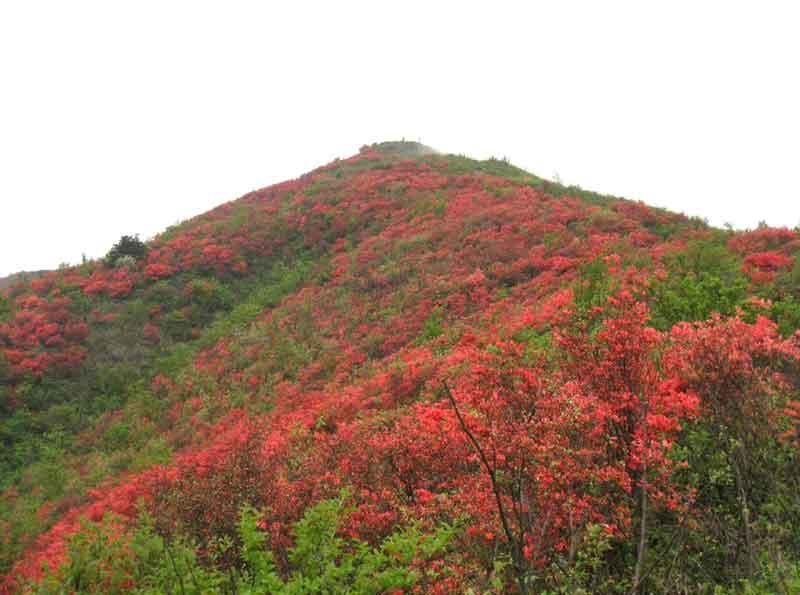 映山红红遍山头