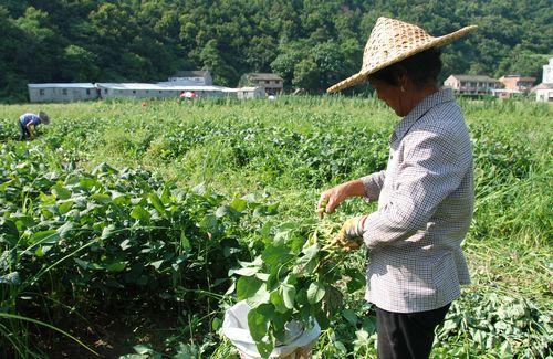 毛豆施用有机肥的方法