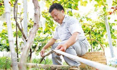 合理灌溉  葡萄满园