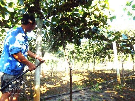 果农浇水抗旱保果树