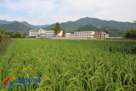淤上乡近万亩水稻长势良好