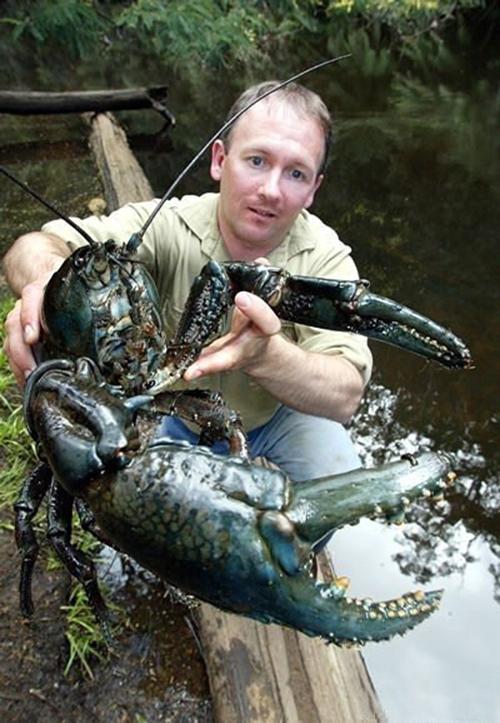 桨鱼吃人的视频_龙虾:最大够一人吃一星期