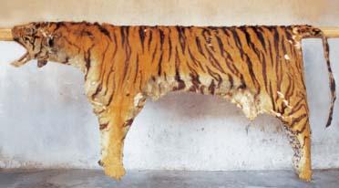 漫谈嵊州的老虎图片