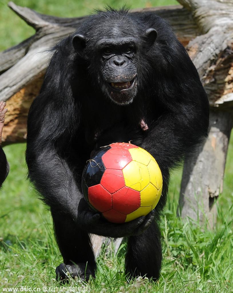 动物 汪星人/当地时间2010年6月1日,德国Hodenhagen,黑猩猩在玩足球,...
