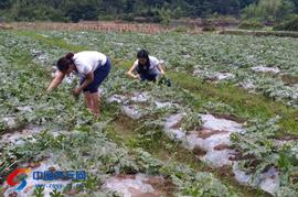 张村西瓜预计7月中旬上市