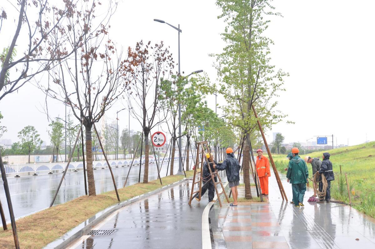 台风麦德姆影响我市 园林工人紧急加固行道树