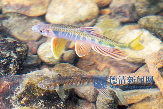 不经意间,记者惊讶地发现一种与众不同的鱼.这种鱼体长约10厘米,图片