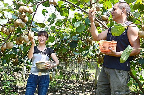 猕猴桃观光园里农户正在采摘猕猴桃