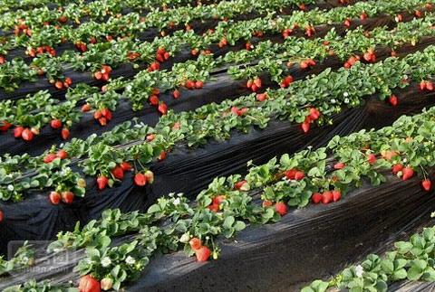 放心农产品采摘游价格翻番