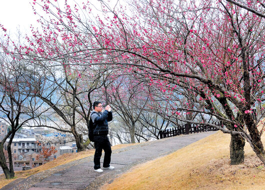 一位游客专注着用手机拍摄眼前绚丽的梅花