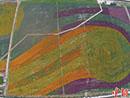 航拍三亚2400亩花海造就大地版《星空》