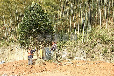 市公路局组织人员种植苗木