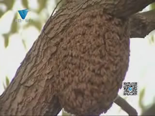 """[04月22日] 马蜂筑巢  """"扰民""""消防官兵摘除"""