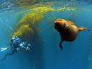 有趣!调皮小海豹与潜水员玩捉迷藏