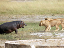 雄狮欲捕食小河马反遭攻击被吓跑