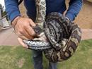 澳两条蟒蛇争抢一只老鼠相互缠绕