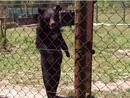 黑熊模仿人类直立行走蹿红网络