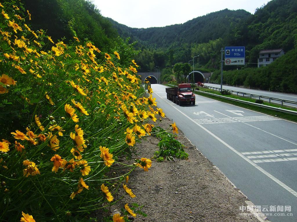 小黄菊扮靓美丽公路(图)