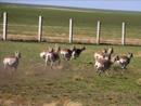 内蒙古草原现罕见大规模野生黄羊群