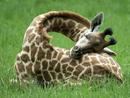 英媒公开长颈鹿罕见睡姿 让人看得脖子疼