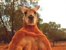 澳拳击袋鼠体型巨大 身高超2米体重近200斤