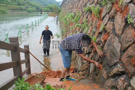 小梅镇工作人员在集镇的防洪堤上种植凤仙花