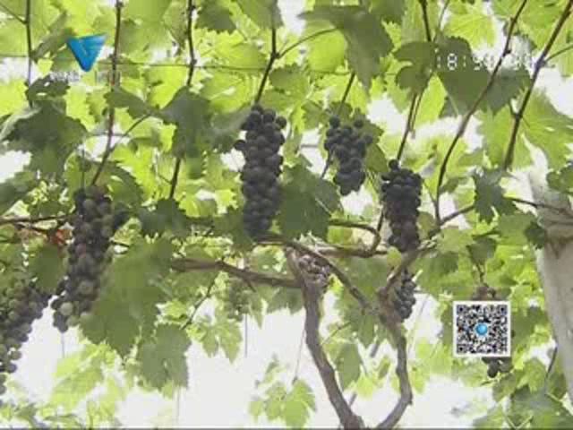 [06月18日] 时令水果上市 有机葡萄吃起来