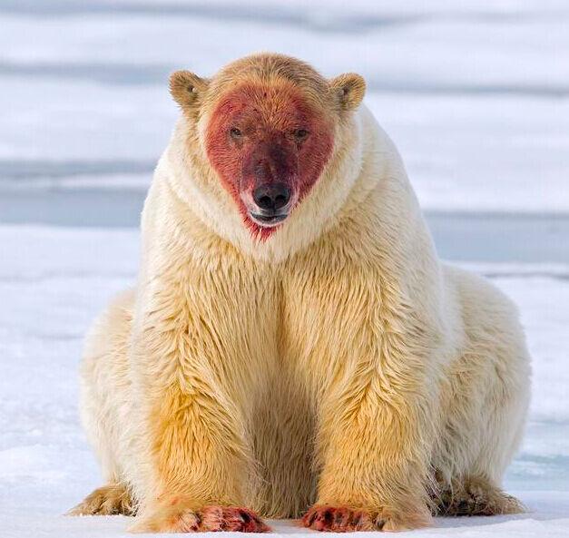 """北极熊变成尸体兔子撕咬v尸体""""关公""""海象吃了牵牛花图片"""