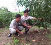 黄泽镇农办人员及剡溪果业协会专家开展灾后补救