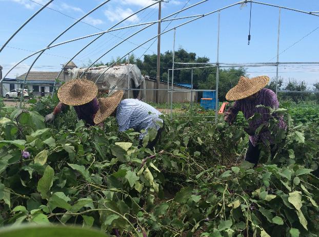 甘霖镇兴良蔬菜专业合作社积极开展灾后蔬菜抢收