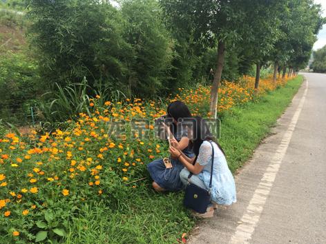小梅镇种植了100多米长的太阳花