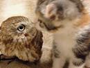 日本猫头鹰与玩伴小猫咪友情深厚