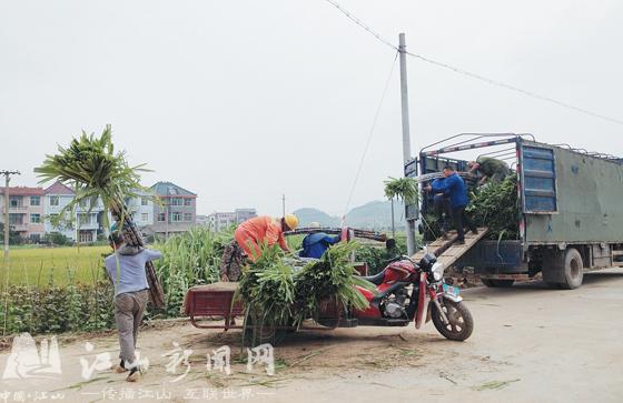 甘蔗喜获丰收