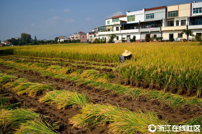 [寻找最美乡村]+丰收的稻田 组图