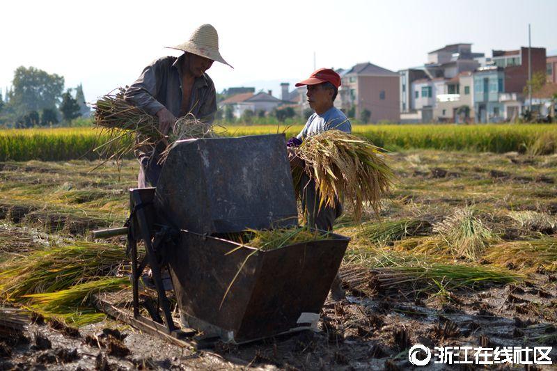 丰收的稻田 组图
