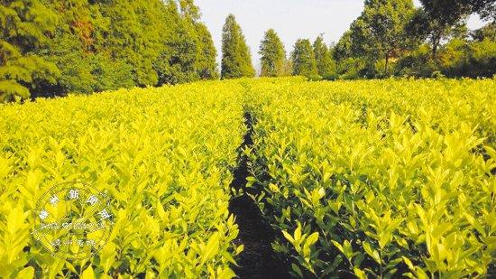 省珍稀白叶品种茶公布 我市