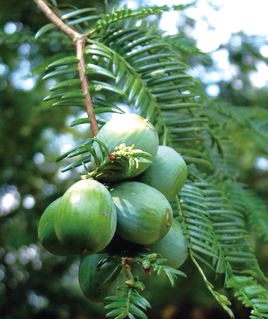 硕果累累的香榧树