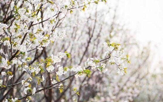 赏樱花何须去日本?金华最美樱花公园已在眼前